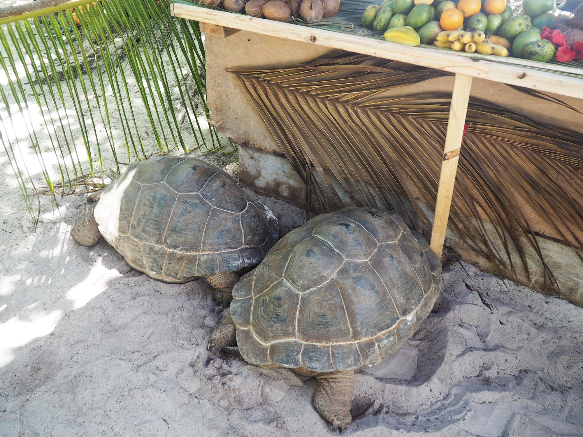 la digue turtles